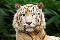 White Tiger, Singapore zoo, Panthera tigris, Portrait, mammal, animals, preadator, close_up, one animal