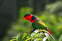 Black_capped Lory, Lorius lory, Birdpark Singapore, parrot, colorfoul, colourful, portrait, bird, fauna, nature, branc
