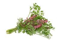 Fumaria officinalis, Medicinal plant common fumitory, drug fumitory