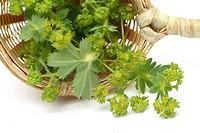 medicinal plant Alchemilla, Lady´s mantle, Alchemilla vulgaris
