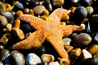 Starfish on pebbles,close_up, Weybourne,Norfolk,UK