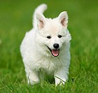 White Swiss Shepherd Dog _ puppy on meadow restrictions: Tierratgeber_Bücher / animal guidebooks
