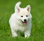 White Swiss Shepherd Dog _ puppy on meadow restrictions: Tierratgeber_Bücher / animal guidebooks