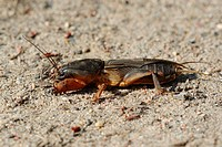 European mole cricket _ on sand / Gryllotalpa gryllotalpa