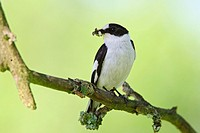 collared flycatcher _ with prey / Ficedula albicollis