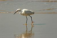 Heron, Beach, Garopaba, Santa Catarina, Brazil