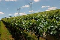 Plantation of Grape, Bento Gonçalves, Rio Grande do Sul, Brazil