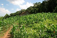 Plantation, Landscape, Bento Gonçalves, Rio Grande do Sul, Brazil