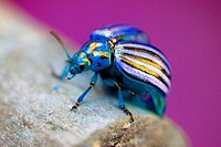 Enchanted beetle