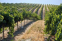 Grape vines at Clayhouse vineyard, Paso Robles, California, USA