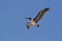 Pelican in flight against a clear blue sky