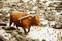 High angle view of a bull ploughing, Yangshuo, Guangxi Province, China