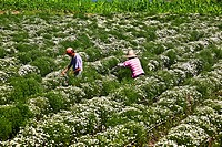 Two farm workers working in flower field, Xidi, Anhui Province, China