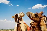 Close_up of Bactrian camels Camelus bactrianus, Kubuqi Desert, Inner Mongolia, China