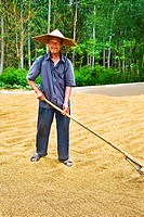 Farmer drying rice in a field, Zhigou, Shandong Province, China