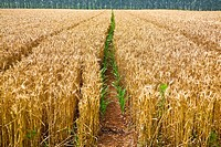 Wheat crop in a field, Zhigou, Shandong Province, China