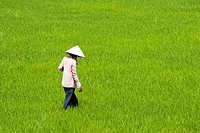 Vietnam _ The South _ The Delta of Mekong _ Chau Doc Surroundings _ Tinh Bien Region _ Rice field