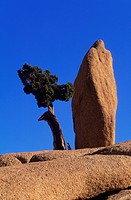 Lone tree and rock at Joshua Tree National Monument, USA