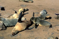 sea lions, namibia, africa
