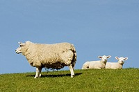 Sheep with two lambs on a dyke. Island Foehr, Schleswig-Holstein, Germany