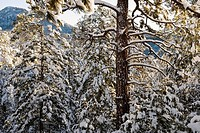 Trees covered with snow in a forest