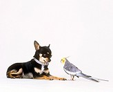 animal friendship: chihuahua and cockatiel