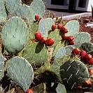 prickly pear / Opuntia robusta