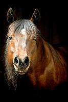 quarter horse _ portrait