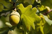 pedunculate oak _ acorn / Quercus robur