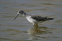 Greenshank _ standing in water / Tringa nebularia