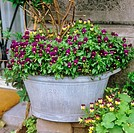 Horned pansies in tub