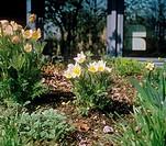 common pasque flower / Pulsatilla vulgaris