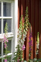 Foxgloves in front of a window on a red house.