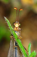 Antlion (Myrmeleon formicarius), head detail