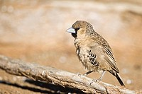 Africa, Namibia, Sociable Weaver Philetairus socius, close_up