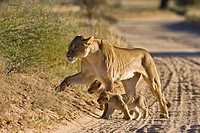 Africa, Namibia, Lioness Panthera leo with cubs