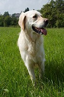 Golden Retriever auf Wiese