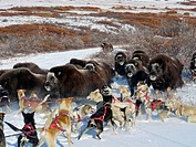 Dog team has a close encounter with a herd of Muskox on a trail near Nome. Fall in Western Alaska.