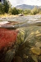 Spawned out Sockeye Salmon in Quartz Creek Kenai Peninsula Alaska Summer Underwater image