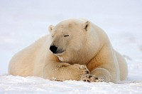 Polar Bear laying on ice with nose in air scenting coastal plain ANWR Alaska