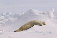 Polar bear playfully slides down rough ice on the eastern Chukchi Sea, off the coast of Arctic Alaska