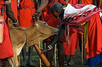 Masai warriors bleeding cow to obtain the blood, Masai Mara, Kenya