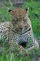 müder leopard