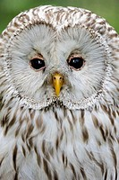 Head portrait of Ural owl (Strix uralensis) Captive, France
