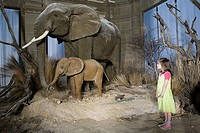 Girl looking at elephants in a museum