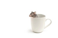 hamster in coffee cup on white