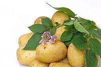 Kartoffel 05