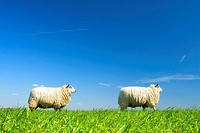 two sheep walking by on grass