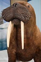 A stuffed walrus