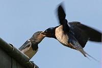 Barn swallow Barn swallow Hirundo rustica, Picardy, France. Beakful. Hirundo rustica  Barn swallow  Swallow  Hirundinid  Passerine  Bird